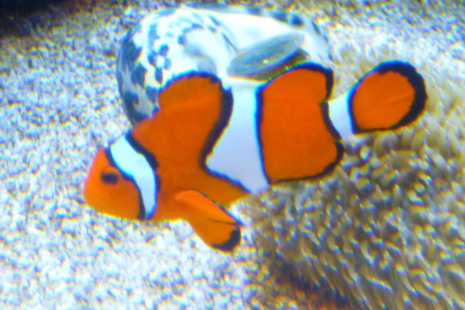 Fish es of the week clownfish blue tang aquatic for What do clown fish eat
