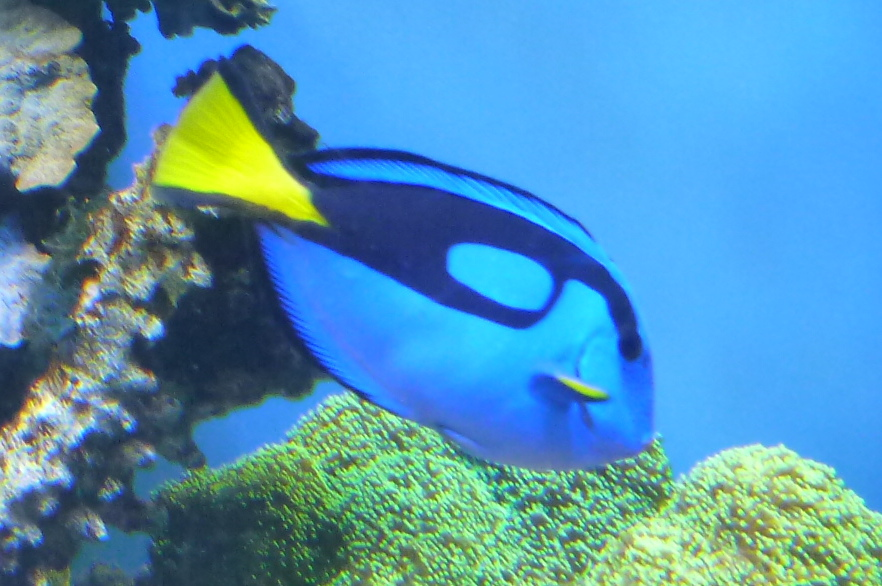 2013 september aquatic veterinary services for Blue tang fish facts