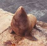 Stellar Sea Lion - courtesy of NOAA NMFS