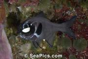 Flashlight Fish - notice the light producing organ under his eye