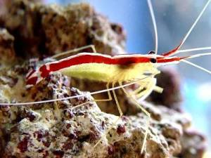 Pacific Cleaner Shrimp