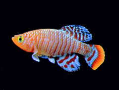 Killifish (courtesy of Wikipedia)