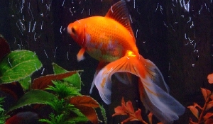 fantailgoldfish1