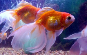 fantailgoldfish2