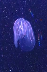 Ctenophore at Monterey Bay Aquarium