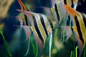 Freshwater Angelfish - courtesy of Wikipedia