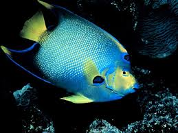Saltwater Angelfish - courtesy of National Geographic