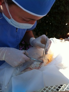 Dr. Sanders performing surgery on a koi
