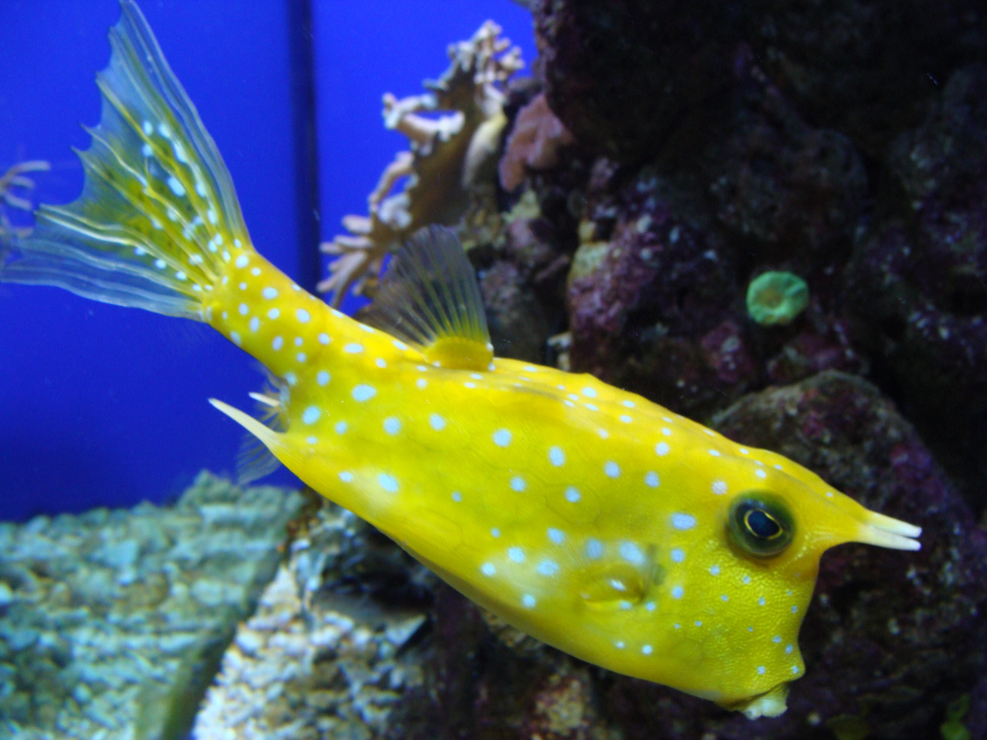 Freshwater fish compatibility chart - Longhorn Cowfish