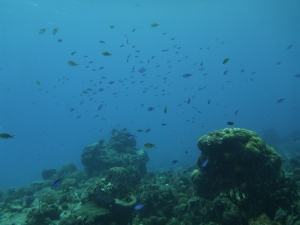 Damselfish and others above the reef in Cozumel