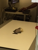 Piranha anesthetized prior to radiographs