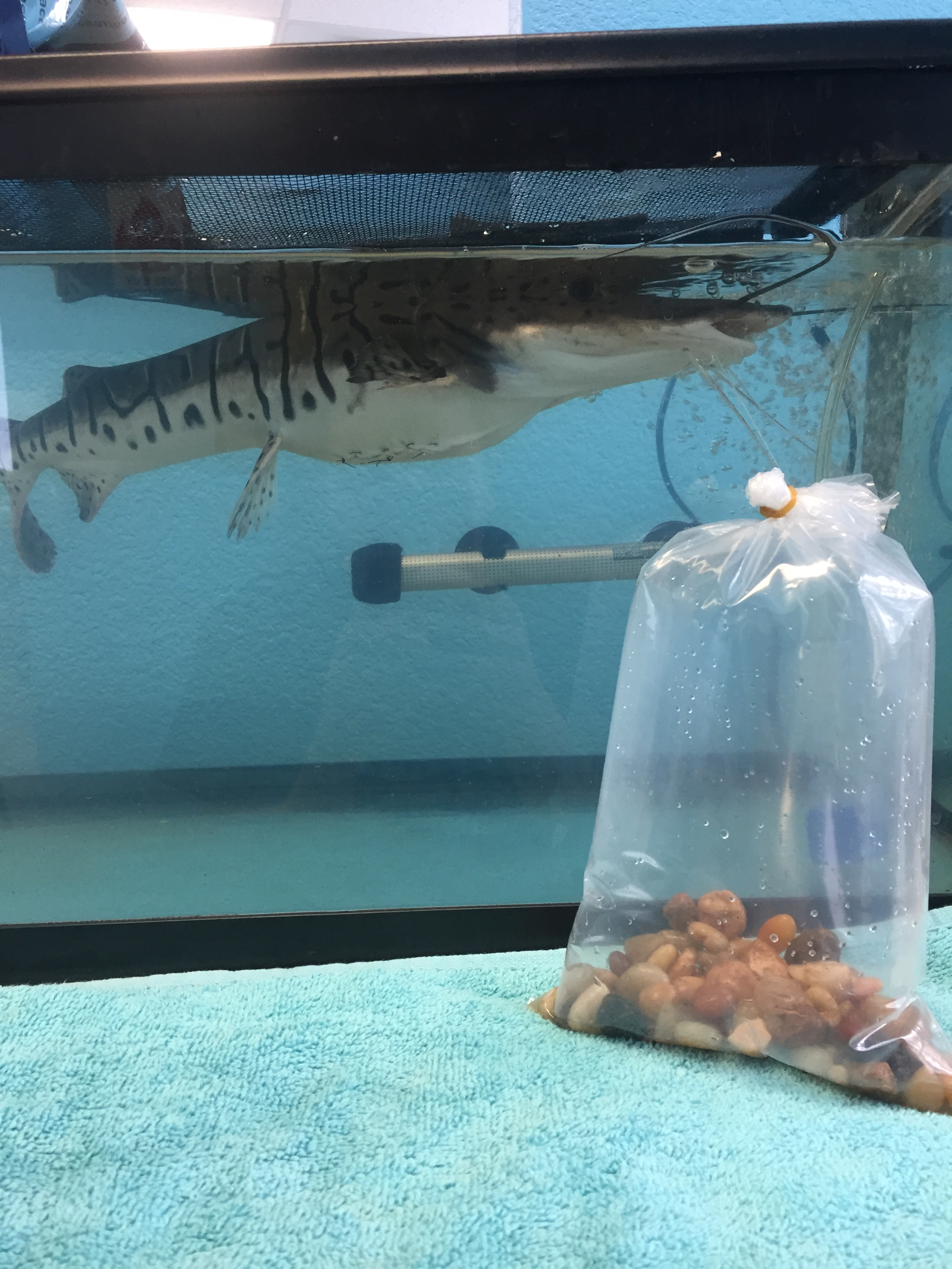 Freshwater aquarium fish massachusetts - And Here Rocky Is Post Surgery In His Recovery Tank He Floats A Lot Better Now In Total We Took Out 2 3 Lbs Of Rocks Rocky S Sutures Will Be In For